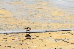 sanderling brzeg Fotografia Royalty Free
