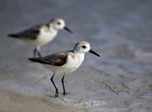 Sanderling (Calidrdis alba) walking in surf Royalty Free Stock Image