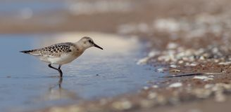 Sanderling - Calidris alba Foto de Stock Royalty Free