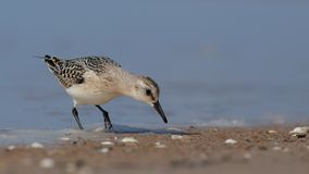 Sanderling - Calidris alba Fotografia de Stock Royalty Free