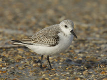 Sanderling, Calidris alba Imagem de Stock Royalty Free