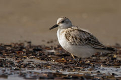 Sanderling, Calidris alba, Stock Image