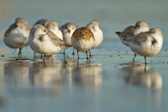 Sanderling ( calidris alba ) Royalty Free Stock Images