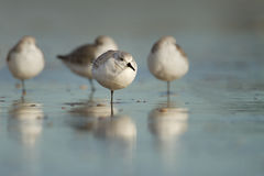 Sanderling ( calidris alba ) Royalty Free Stock Image