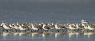 Sanderling ( calidris alba ) Stock Image