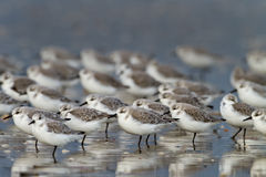 Sanderling ( calidris alba ). A group european Sanderling (Calidris alba) birds Stock Image