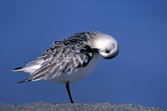 Sanderling (Calidris alba) Stock Photos