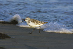 Sanderling, Calidris alba Stockbild