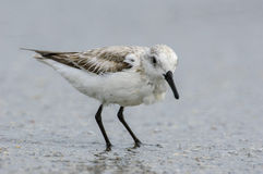 Sanderling, (Calidris alba) Image stock