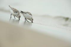 Sanderling (Calidris alba) Lizenzfreie Stockfotos