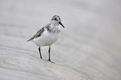 Sanderling (Calidris alba) Stock Image
