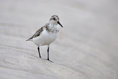 Sanderling (Calidris alba) Immagine Stock