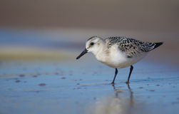 Sanderling - Calidris alba fotos de stock royalty free