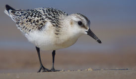 Sanderling - Calidris alba Photos libres de droits