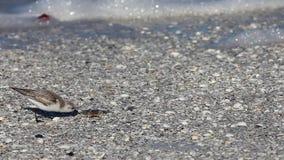 Sanderling, Calidris alba, alimentantesi il litorale stock footage
