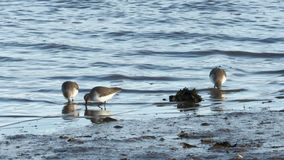 Sanderling, Calidris alba, alimentantesi litorale archivi video
