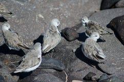 Sanderling. Calidris alba. Arinaga Beach. Aguimes. Gran Canaria. Canary Islands. Spain Royalty Free Stock Images