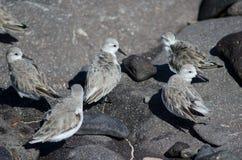 Sanderling. Sanderling Calidris alba. Arinaga Beach. Aguimes. Gran Canaria. Canary Islands. Spain Royalty Free Stock Photos