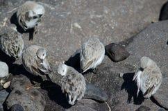 Sanderling. Sanderling Calidris alba. Arinaga Beach. Aguimes. Gran Canaria. Canary Islands. Spain Stock Photo
