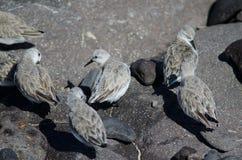 Sanderling. Sanderling Calidris alba. Arinaga Beach. Aguimes. Gran Canaria. Canary Islands. Spain Royalty Free Stock Photo