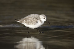 Sanderling, Calidris alba Royalty Free Stock Photography