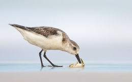 Sanderling (Calidris alba) eating crustacean Royalty Free Stock Images