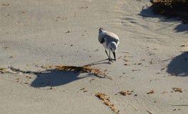 Sanderling (Calidris alba) feeding along the shore in Laguna Beach, California. Royalty Free Stock Photos