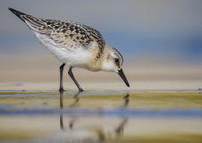 Sanderling - Calidris alba Royalty Free Stock Image
