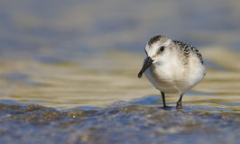 Sanderling - Calidris alba Royalty Free Stock Images