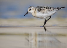 Sanderling - Calidris alba Royalty Free Stock Photography