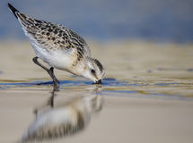 Sanderling - Calidris alba Stock Photo