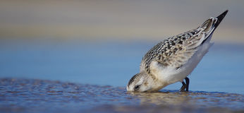 Sanderling - Calidris alba Royalty Free Stock Photo