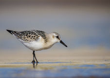 Sanderling - Calidris alba Stock Images