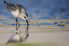 Sanderling - Calidris alba Royalty Free Stock Images