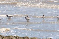 Sanderling, Calidris alba Stock Photos
