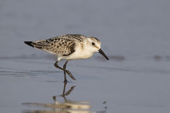 Walking Sanderling Royalty Free Stock Photography