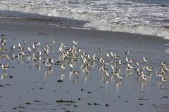 Sanderling, Calidris alba Stock Photography