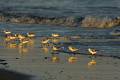 Sanderling, Calidris alba Royalty Free Stock Photo