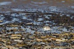 Sanderling (Calidris alba) Stock Images