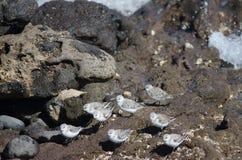 Sanderling. Sanderling Calidris alba. Playa de Arinaga. Agüimes. Gran Canaria. Canary Islands. Spain Royalty Free Stock Photo