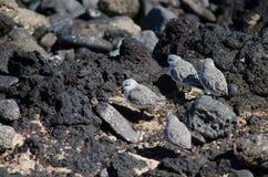 Sanderling. Sanderling Calidris alba. Playa de Arinaga. Aguimes. Gran Canaria. Canary Islands. Spain Royalty Free Stock Photo