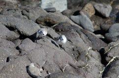 Sanderling. Sanderling Calidris alba. Playa de Arinaga. Aguimes. Gran Canaria. Canary Islands. Spain Royalty Free Stock Photos