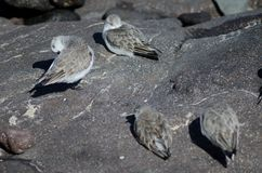 Sanderling. Sanderling Calidris alba. Playa de Arinaga. Aguimes. Gran Canaria. Canary Islands. Spain Royalty Free Stock Image