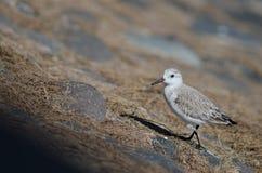 Sanderling. Sanderling Calidris alba. Playa de Arinaga. Aguimes. Gran Canaria. Canary Islands. Spain Royalty Free Stock Images