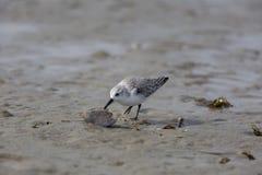 Sanderling, Calidris alba, sanderlings, pássaros fotos de stock royalty free