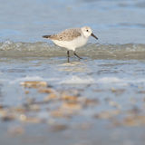 Sanderling (Calidris alba) searching for food Royalty Free Stock Image