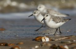 Sanderling Calidris alba searching for food along the shoreline at high tide. Stunning Sanderling Calidris alba searching for food along the shoreline at high Stock Images