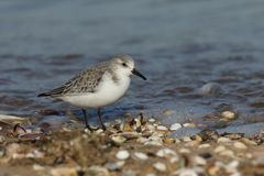 A Stunning Sanderling Calidris alba searching for food along the shoreline at high tide. A Sanderling Calidris alba searching for food along the shoreline at Royalty Free Stock Photos