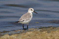 Sanderling Calidris alba Shorebird Waterbird Salt farm Birds of Thailand Royalty Free Stock Images