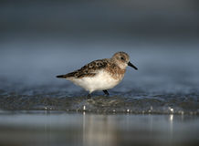 Sanderling, Calidris alba Stock Photo